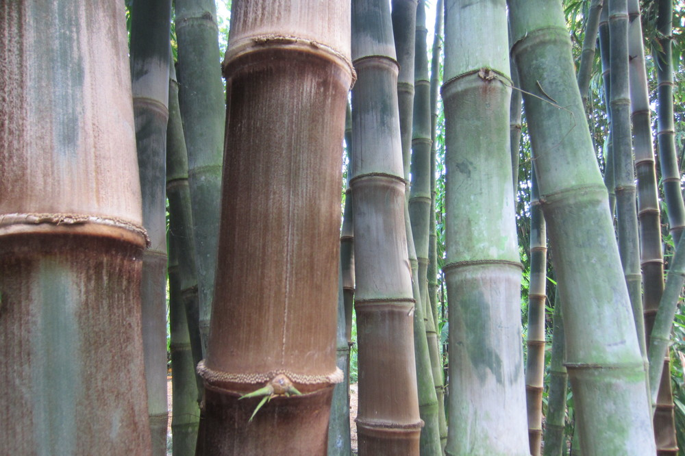 Dendrocalamus at Tropical Bamboo Nursery in West Palm Beach, Florida