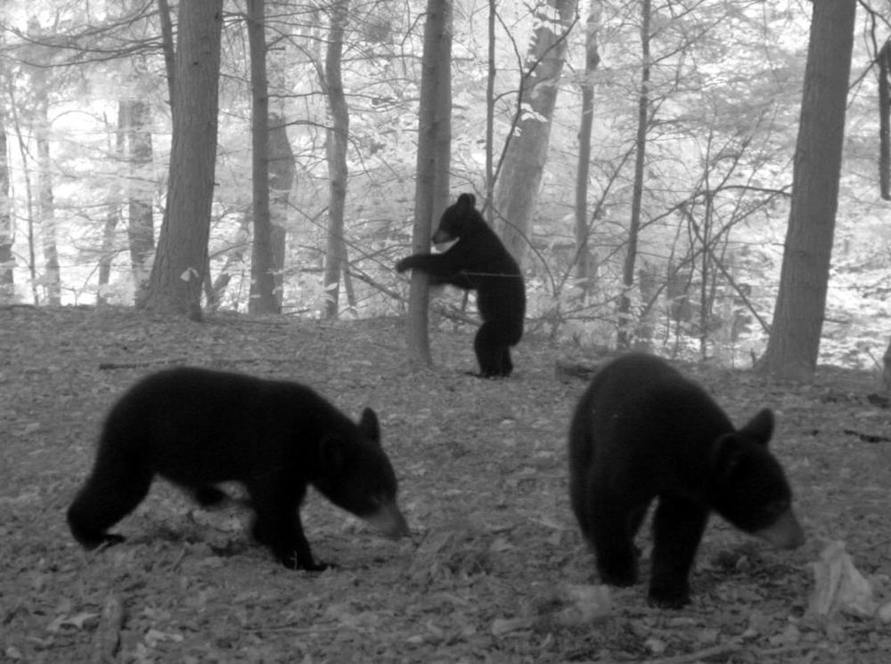 A Noninvasive, genetic, spatial capture-recapture study of an expanding black bear population in southwestern New York ( more )