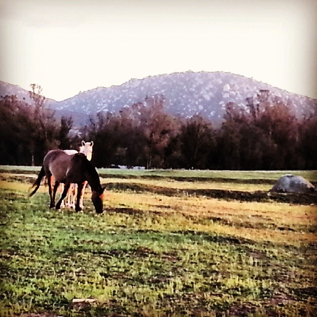 Ramona wild horses. #heritageherd (at Ramona Grasslands Preserve)