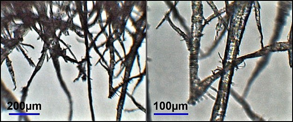 Micrographs of cellulose fibers from wood pulp