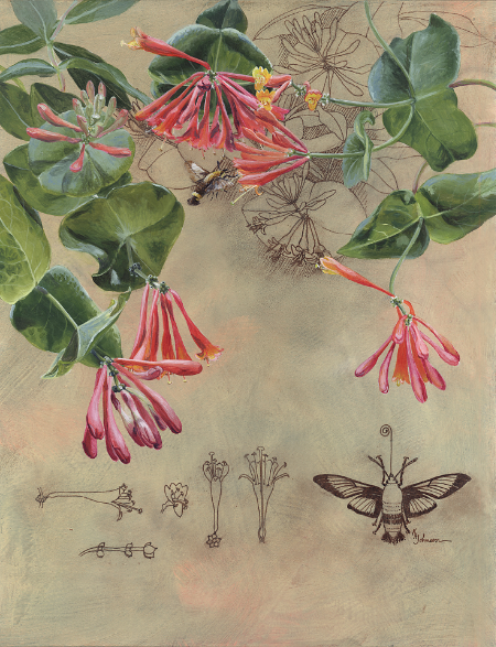 Brought to Life: Honeysuckle and Clearwing Moth