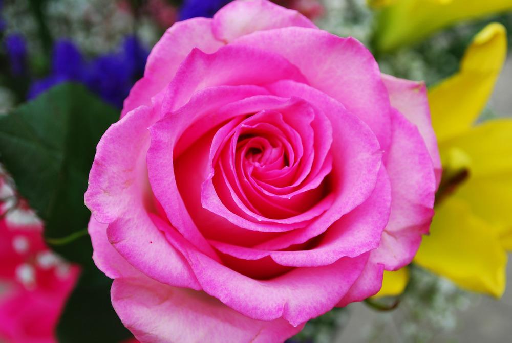 Pink Rose 1.jpg