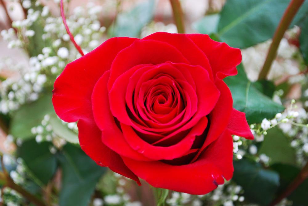 Red Roses 2.jpg