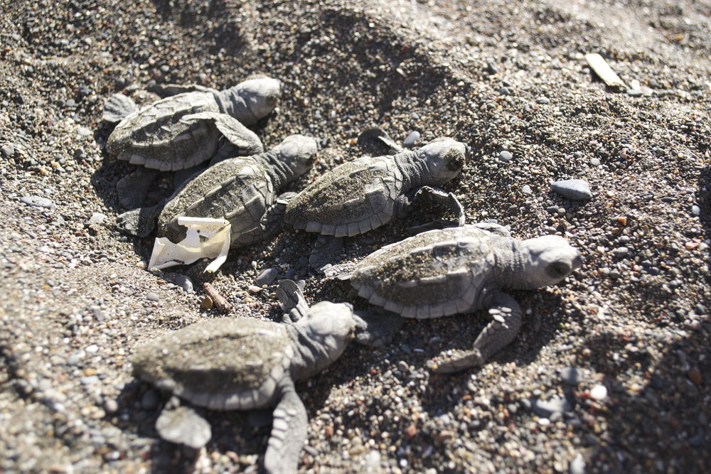 5 hatching turtles.jpg