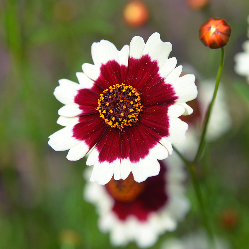 coreopsis: always cheerful