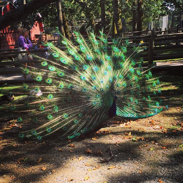 Visit to Beacon Hill Park included a beautiful peacock showing off its Amazon feathers :) love it!