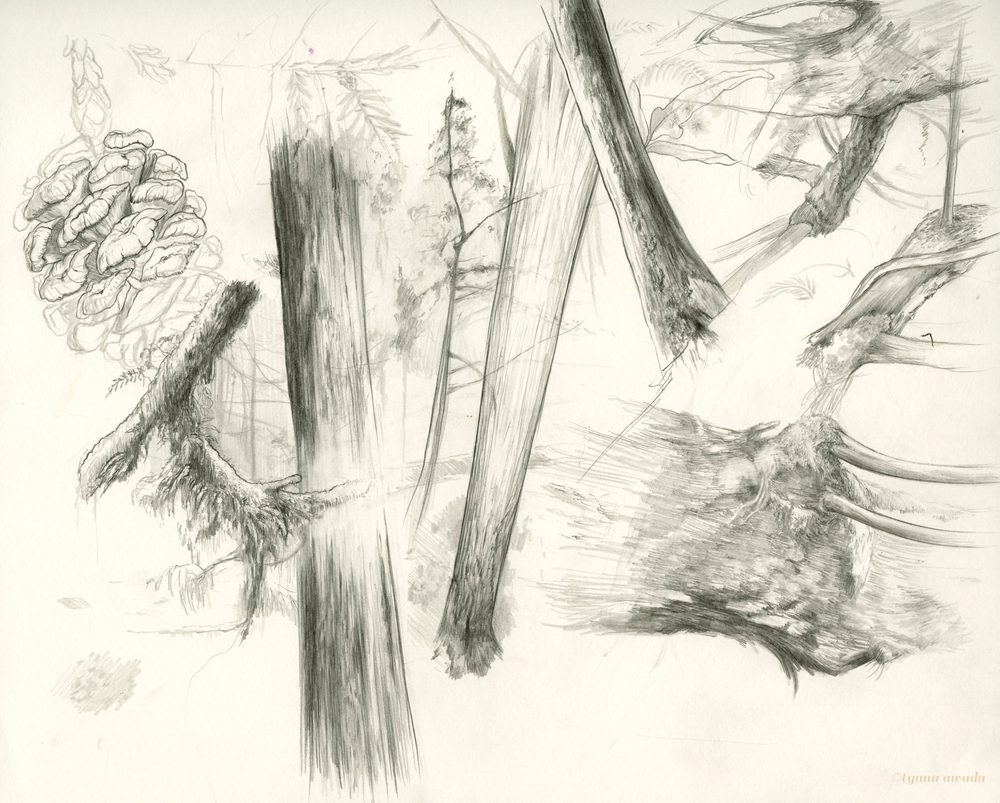 Sequoia sketches which I've posted in my other blogs.