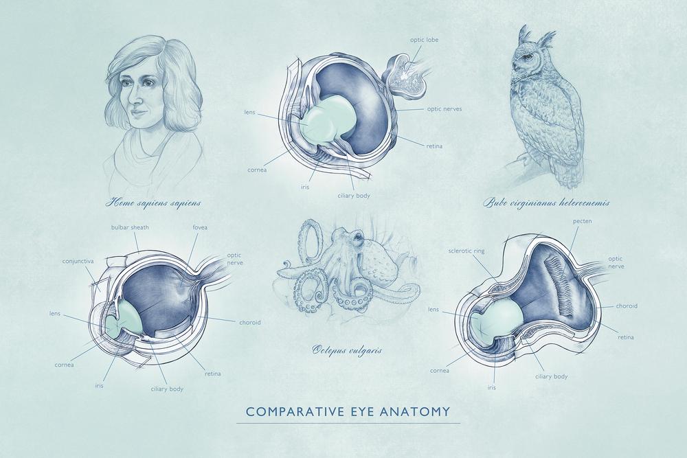comparative eye anatomy