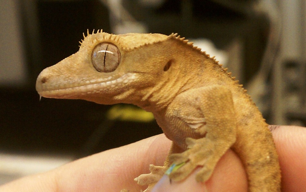 One of our study species,  Correlophus ciliates , the crested gecko
