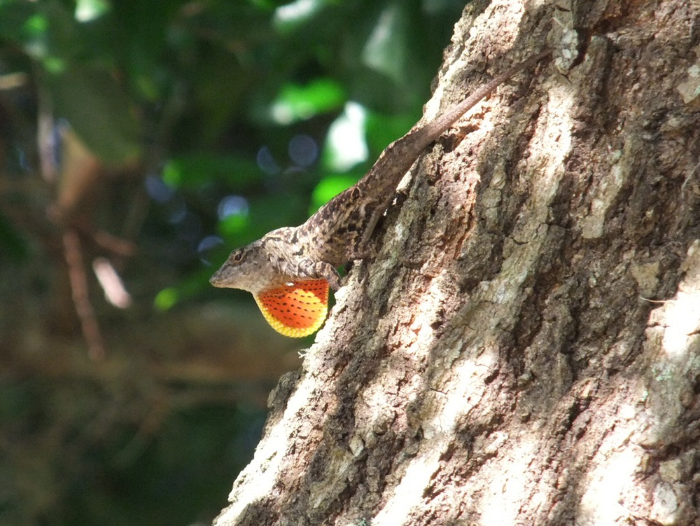 Brown anole male showing off his dewlap