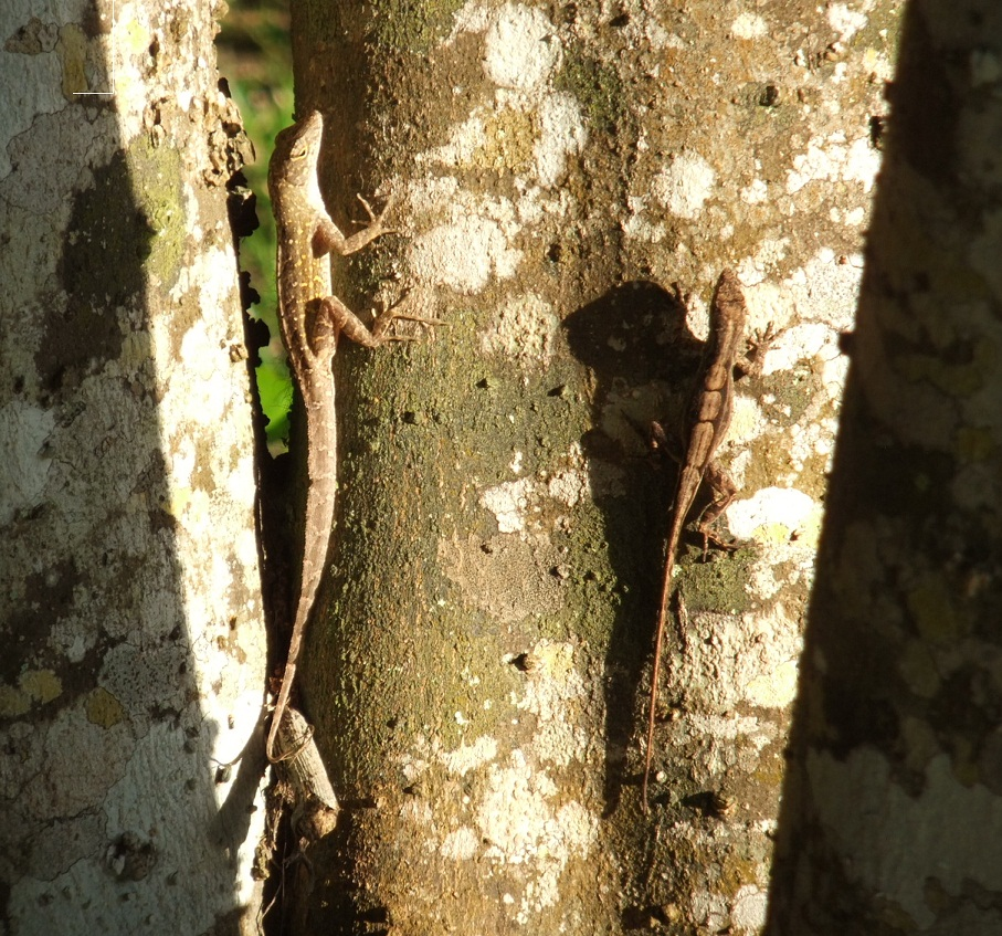 Male and female brown anoles soaking up the late afternoon sun
