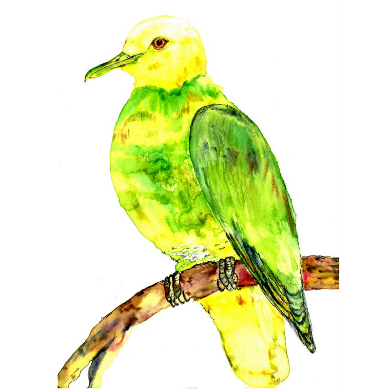 Whistling Fruit Dove (Ptilinopus layardi), endemic to the island of Kadavu, Fiji.