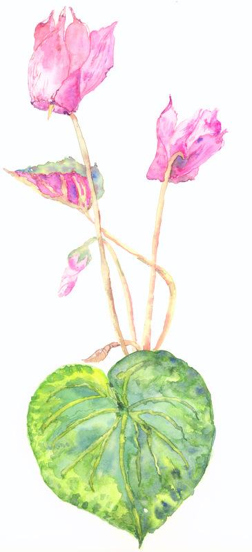 Cyclamen purpurensis