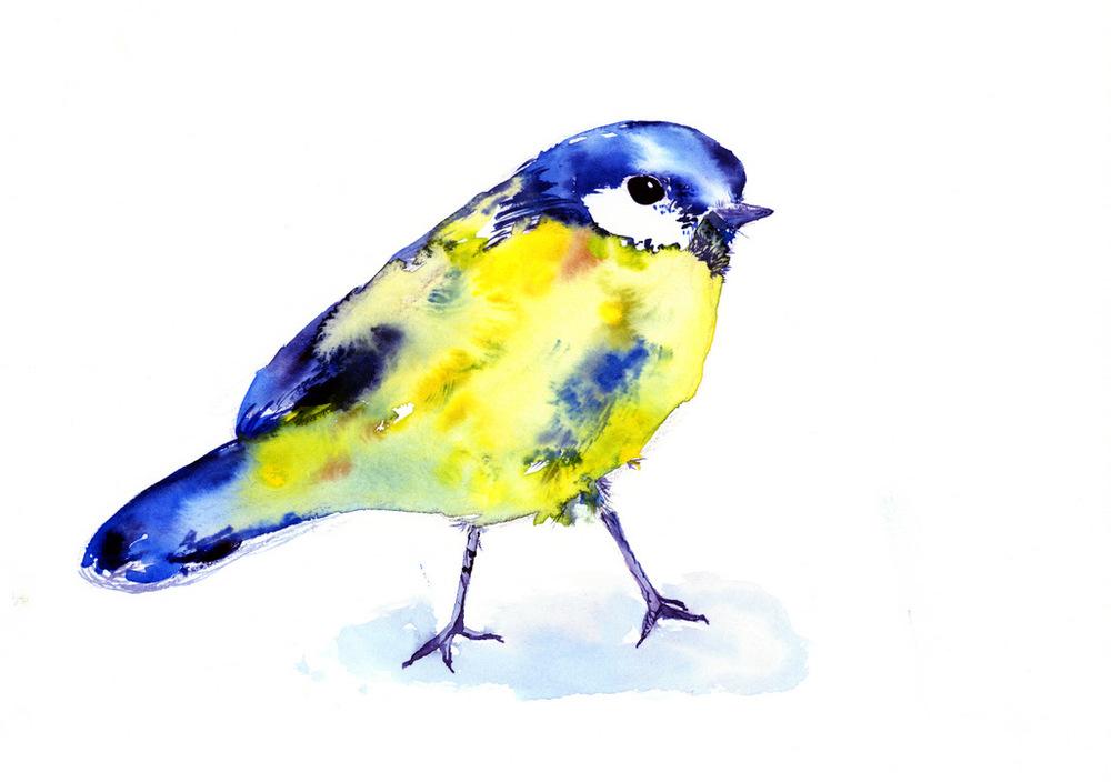Parus caeruleus - Blue tit