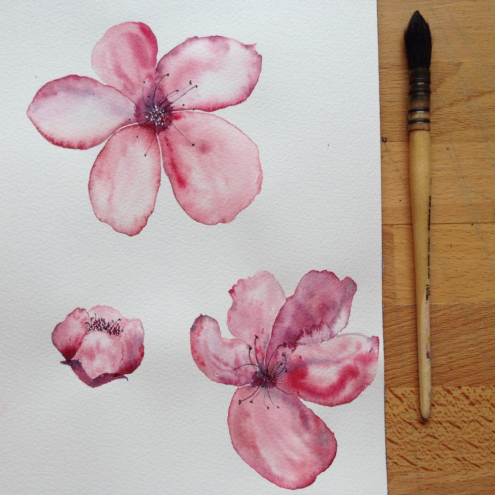 Češnja/ Cherry flowers.