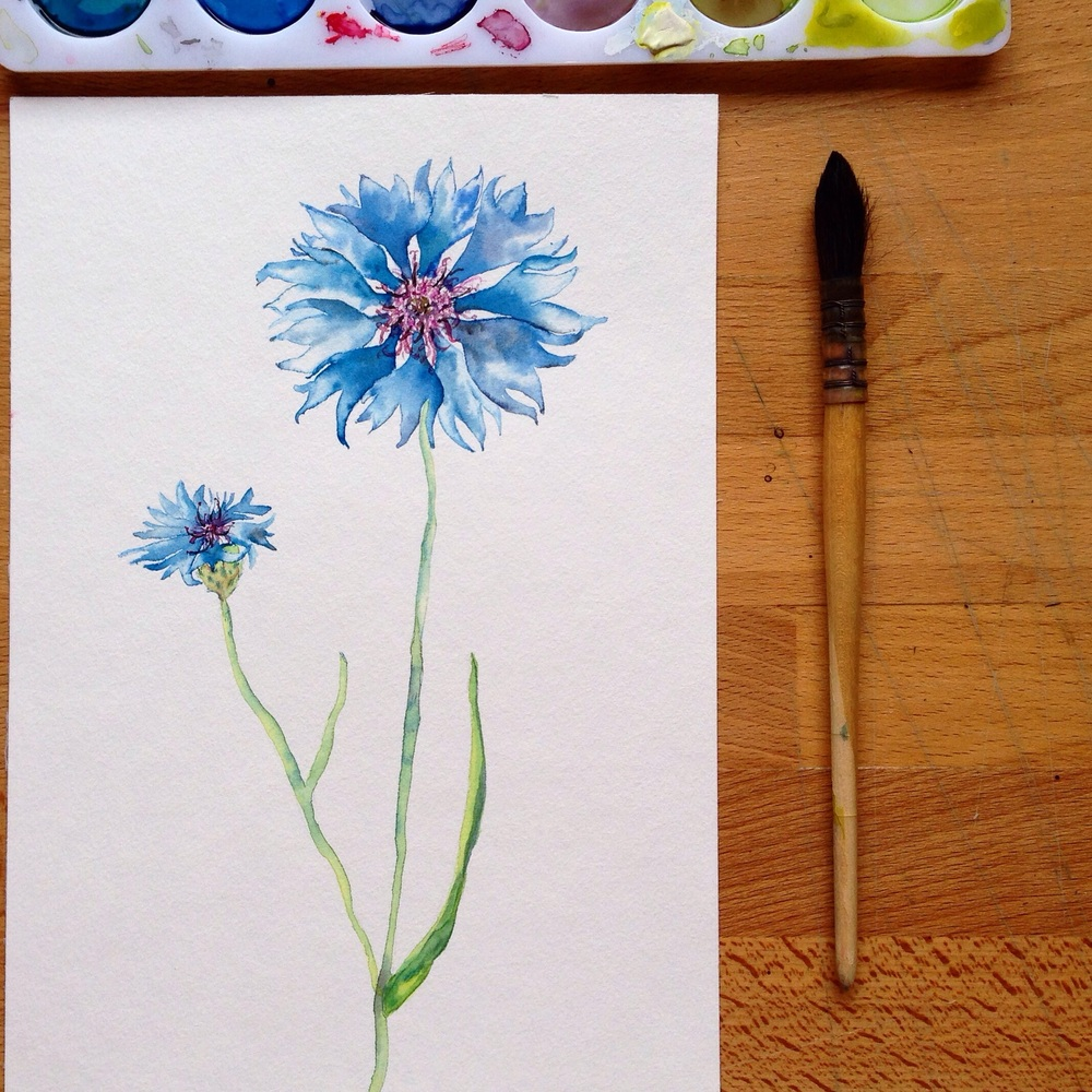 Plavica oz. modri glavinec/ Cornflower or Bluebottle.
