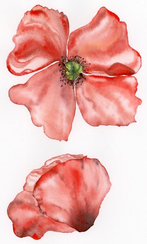 Cvet maka/ Poppy flowers.