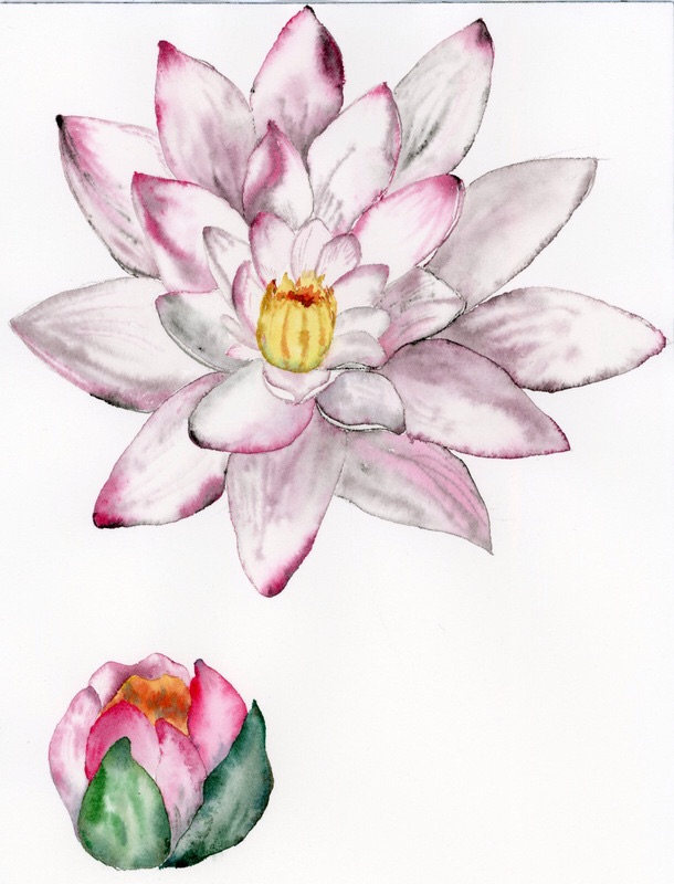 Cvet vodne lilije/ Water lily flowers.