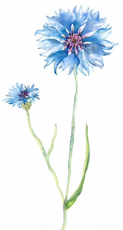 Plavica oz. modri glavinec/ Cornflower or Bluebottle.