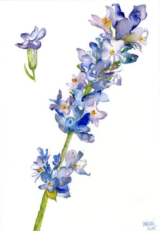 Cvet sivke/ Lavender flower.