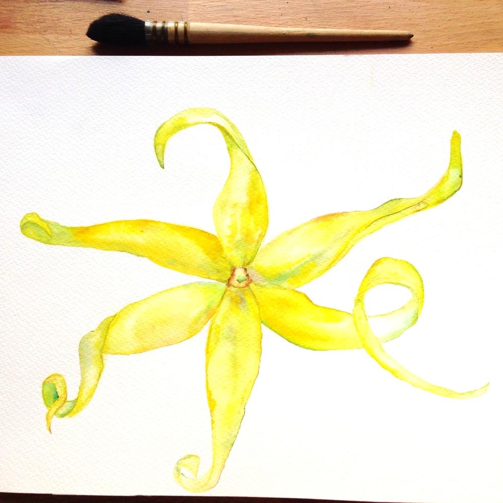 Cvet Ilang-Ilang/ Ylang-ylang flower.