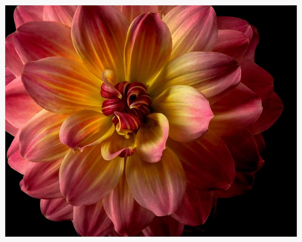 05.12.13_Pink_Yel_Dahlia_019_31-Edit.jpg