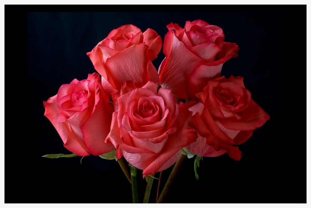 Coral Roses - Focus Stacked