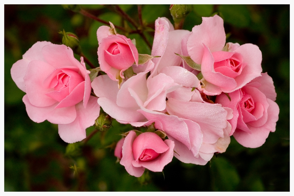 Pink Roses with Morning Dew