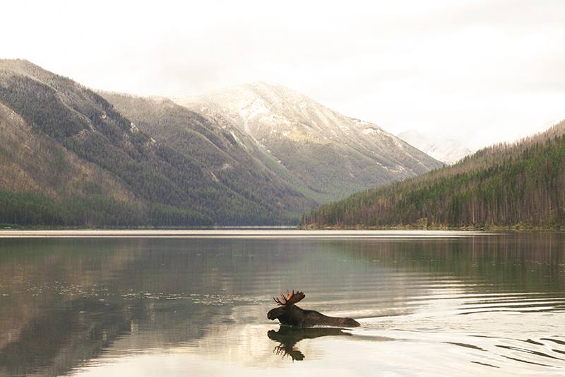 When I looked to my right a bull moose was coming out of the bushes 30 feet away from me. We startled each other, and I turned to run back up to camp and he ran into the lake. Adam saw the whole scene unfold, beautifully.