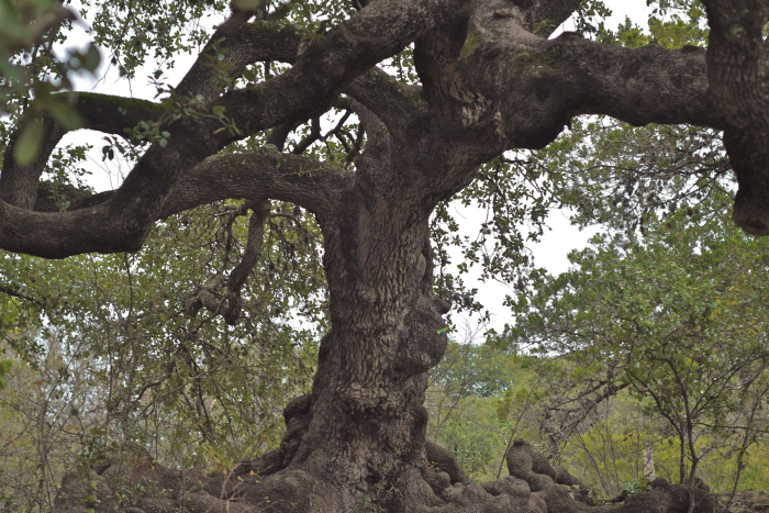 Photo: Ted Arnold.  Quesoclub.com .  There is no doubt that these trees are worth protecting. But there was better a way than what went down last Sunday: old-fashioned dialogue and compromise.