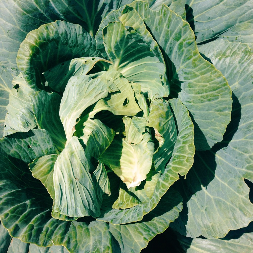 farm cabbage