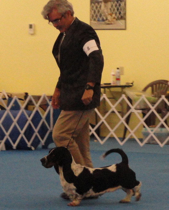 SUSQUEHANNA BASSET HOUND SPECIALITY Corkey's Meadow -  CLASS 9 -12 MONTHS AND PUPPY SWEEPSTAKES