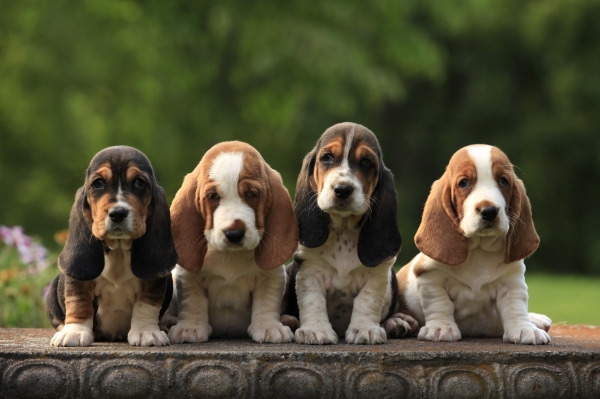 This photo made it into a 2015 calendar which can be purchased at this link. Copy and paste to your browser.   http://www.petprints.com/Basset-Hound-Wall-Calendar-2015_p_16722.html