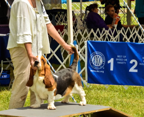 Cilka Turguesa Playa - Mattaponi kennel Club show - Manassas Va. May 17 - 6 to 9 month old puppy class - Second place