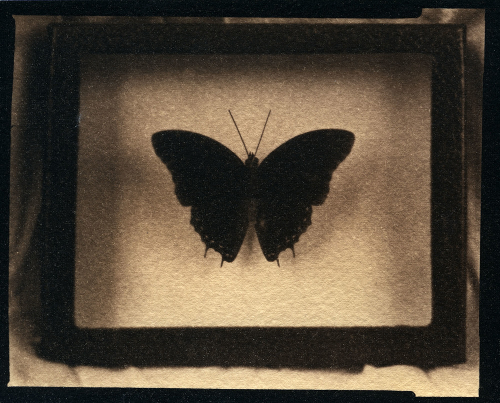 Michelle's Butterfly    Toned Cyanotype, 2015