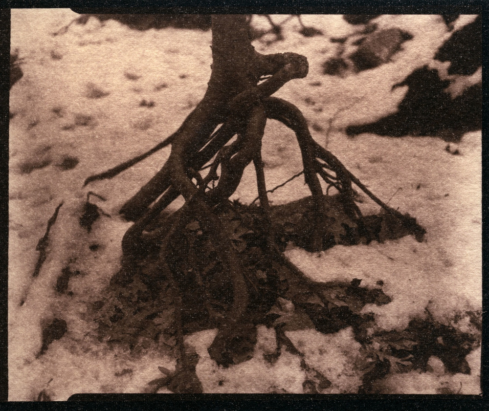 Exposed Roots     Toned Cyanotype, 2015