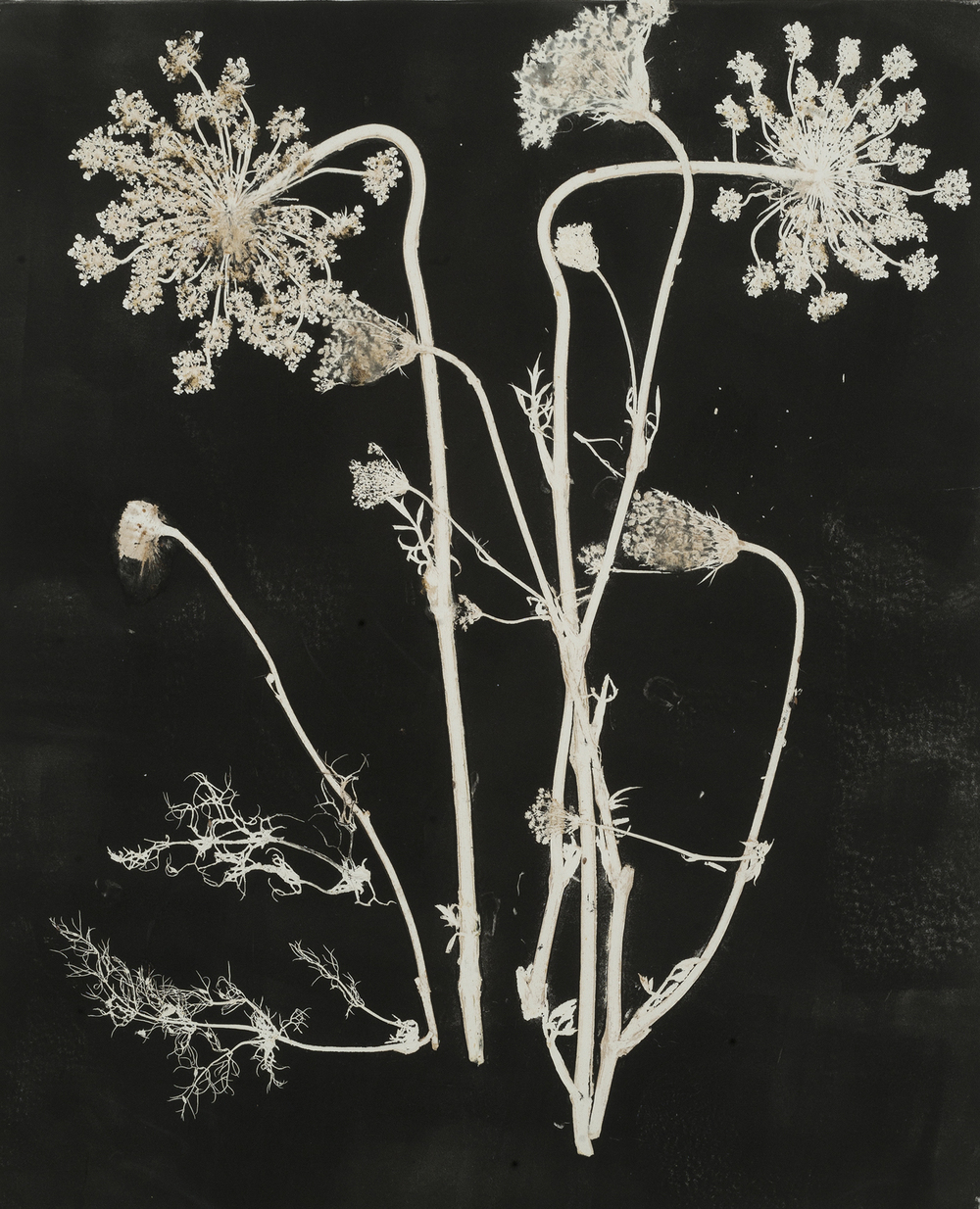 Queen Anne's Lace #1,