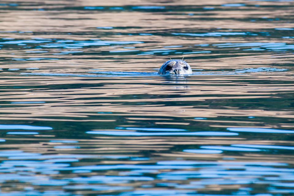 A curious harbor seal