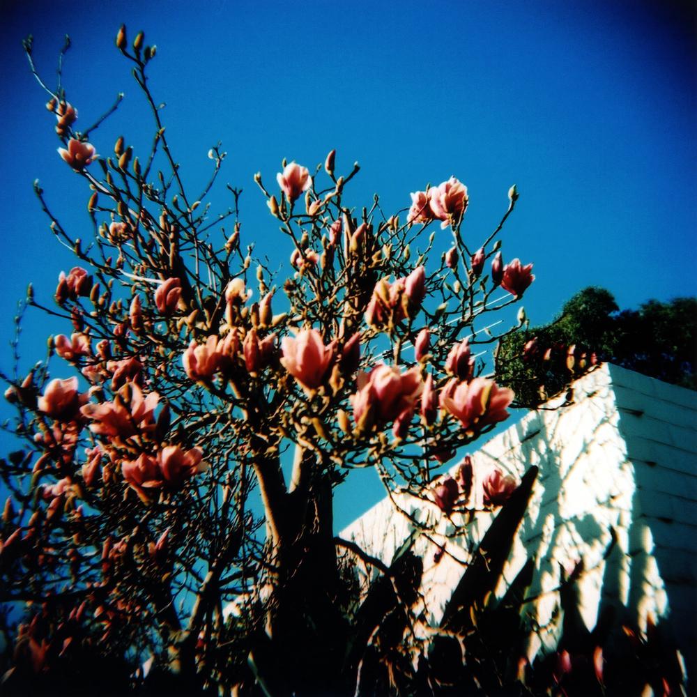 pink flowers, blue sky [brunswick east, victoria, australia, 2005]