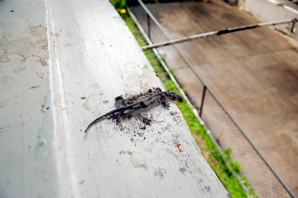 larry the ledge lizard