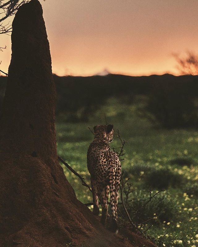 How cool is this cheetah? Looking out into the sunset and standing next to this huge termite mountain!? . My homiey @donalboyd is hosting another workshop in Namibia, Africa with @erindi and I'm so excited for the creatives who'll be chosen for this adventure! . The experience is one I'll forever hold close to me as I was able to learn and witness the multiple conservation projects which Erindi has under their umbrella, see the diverse range of animals roam freely and be in an environment where you'll grow and develop both as an individual and a creative. . The people you'll meet become invaluable and @Donalboyd is a crazy talented chap, environmentalist, animal activist and just an all around great bloke! . A majority of my time was spent laughing, singing, dancing, taking photos, eating and eating some more! What more could you want!? 😂 . I'm so happy @Erindi is opening their doors for workshops as such, enabling people to discover, learn and spread awareness about the importance of conserving these incredible species through the use of photography and social media! . #cheetah #savecheetahs