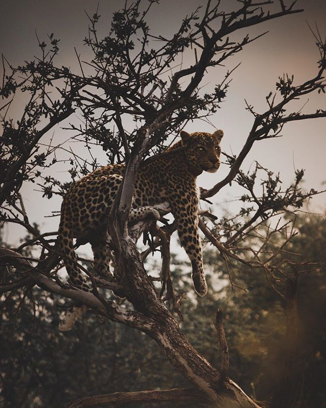 Honey-Thorne (This beautiful leopard's name) accurately depicts me at the moment, waiting for a delayed flight back home like 😒. . On another note, I gots a window seat and the possibility of catching sunset whilst in the sky makes waiting a bit better! . Don't have much to write down today, but here's an interesting fact I came across today! . Did you know the word 'testify' derived from a time when men were required to swear on their testicles? (Source: did-you-knows.com) . And there you have it folks! Happy Monday! Make someone laugh and spread them good vibes! 🤗 . . . . . #namibianewlife #leopards #globalleopardproject #bigcats #bigcatsofinstagram #saveleopards