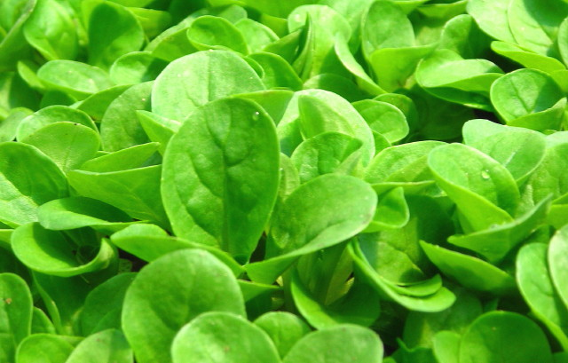 """Mache -Also known as """"corn salad"""", this lovely cool weather green grows low to the ground in lovely rosettes. It has a mild, nutty flavor, and can be cooked or used raw in salads. It is a goldmine of vitamins & nutrients! Sold in packages of 4 oz. each."""