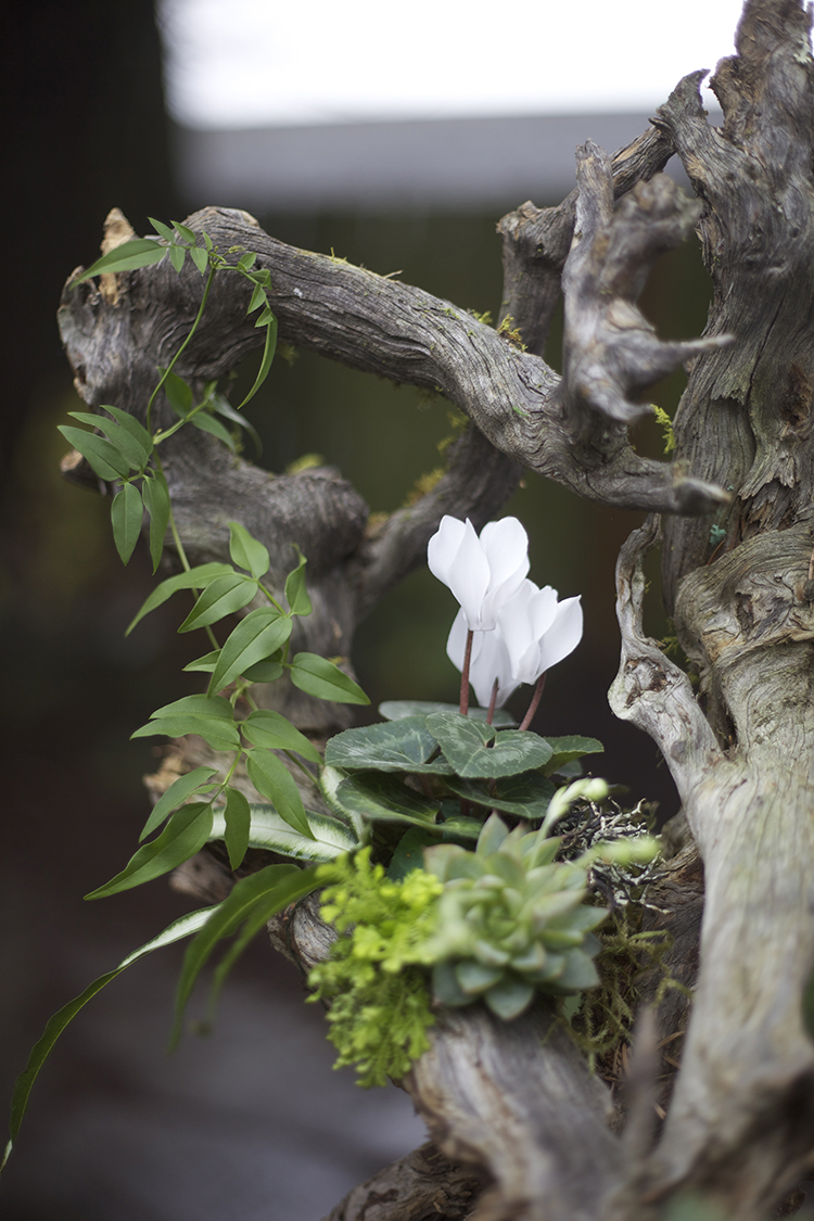Detail of woodland arrangement on a root structure with white cyclamen, Pteris ensiformis 'Silver Lace Fern', jasmin vine, succulents, lichen and moss, by Cincinnati wedding florist Floral Verde LLC.