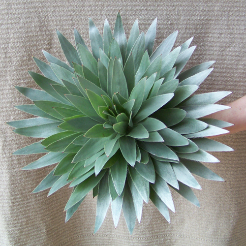 Top view of composite flower made from silver tree foliage