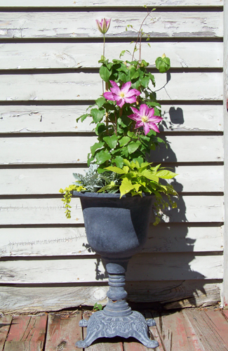 'Asao' Clematis, 'Sweet Caroline' sweet potato vine, dusty miller, and 'Goldilocks' Lysimachia in a cast-iron urn