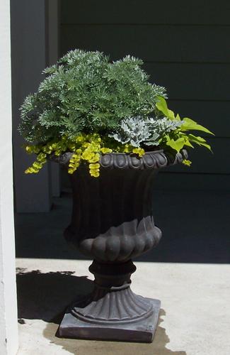 'Powis Castle' Artemisia, 'Sweet Caroline' sweet potato vine, dusty miller, and 'Goldilocks' Lysimachia in a fiberglass urn