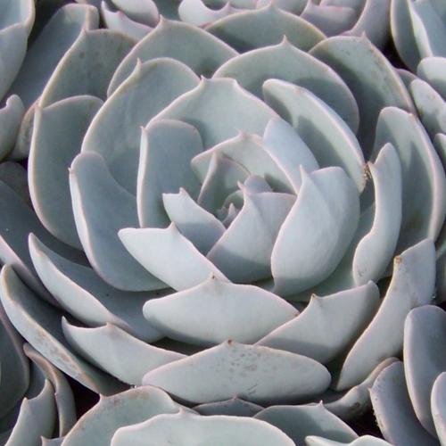 Echeveria Lylacia