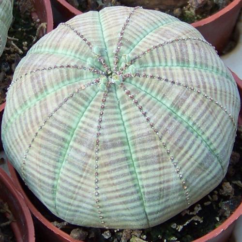 Euphorbia obesa