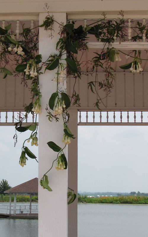 Jasmine and stephanotis vines are draped on the gazebo.